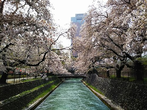 20180403群馬県前橋公園の桜4