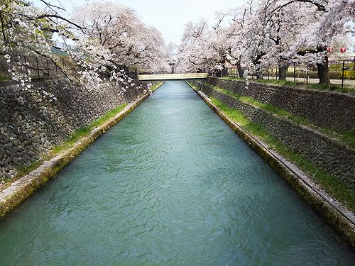 20180403群馬県前橋公園の桜5
