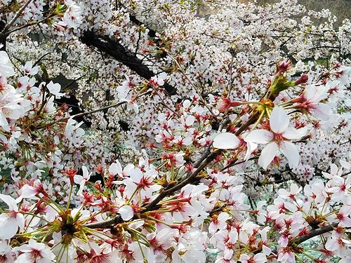 20180403群馬県前橋公園の桜6