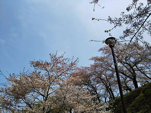 20180403群馬県前橋公園の桜8