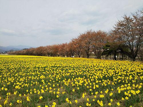 20180411東吾妻町岩井親水公園の桜と水仙1