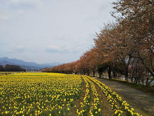 20180411東吾妻町岩井親水公園の桜と水仙2