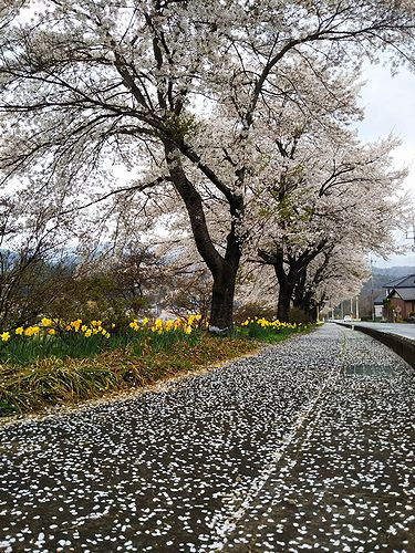 20180411群馬県中之条町の桜の花びらの舗道