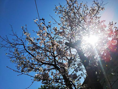 20180422草津温泉民泊花栞(はなしおり)桜開花1