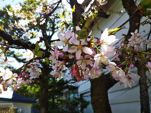20180422草津温泉民泊花栞(はなしおり)桜開花2