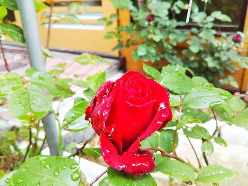 20180612草津温泉民泊花栞(はなしおり)庭の薔薇イングリッド・バーグマン