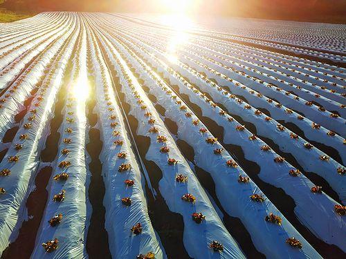 20180613群馬県北軽井沢(長野原町)の夕陽に照らされるサニーレタス畑 (1)