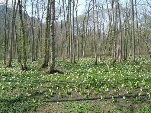 2006.5.長野県長野市、戸隠森林植物園の水芭蕉