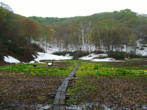 2006.5.新潟県妙高市、斑尾高原沼の原湿原の水芭蕉
