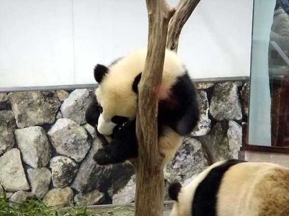 和歌山アドベンチャーワールドのパンダ