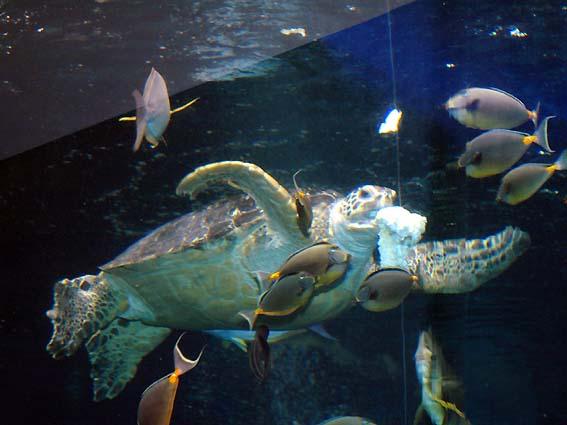 鳥羽水族館の水槽を泳ぐカメ