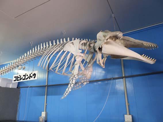 コビレゴンドウの骨格標本