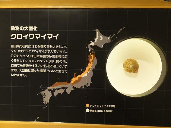 クロイワマイマイ(富山市科学博物館)