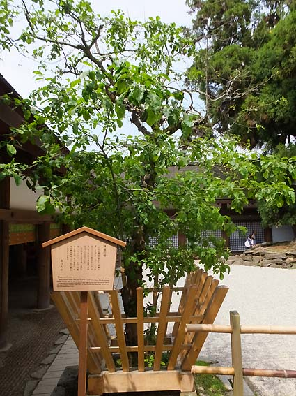春日大社の林檎の樹