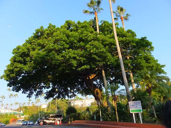 指宿フェニックスホテルのあこうの大木