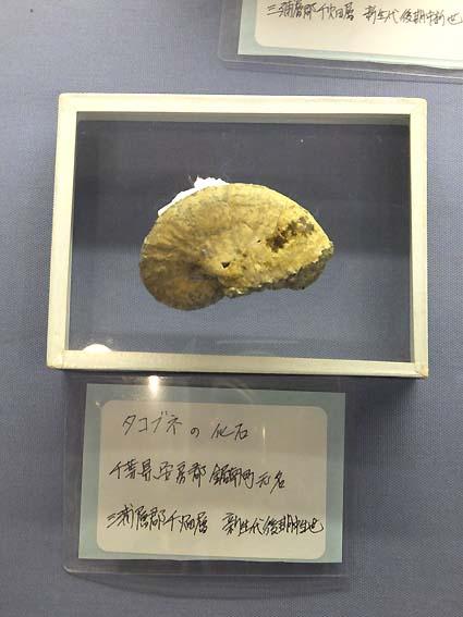 タコブネの化石