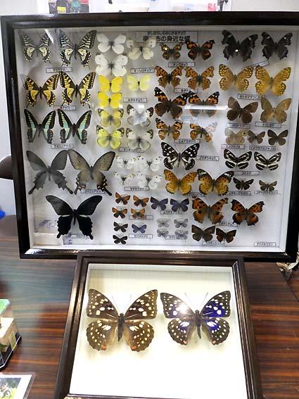 橿原市の身近な蝶とオオムラサキ