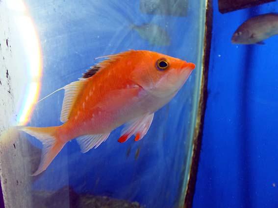 串本海中公園水族館のサクラダイ