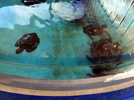 串本海中公園で生まれたアオウミガメの赤ちゃん