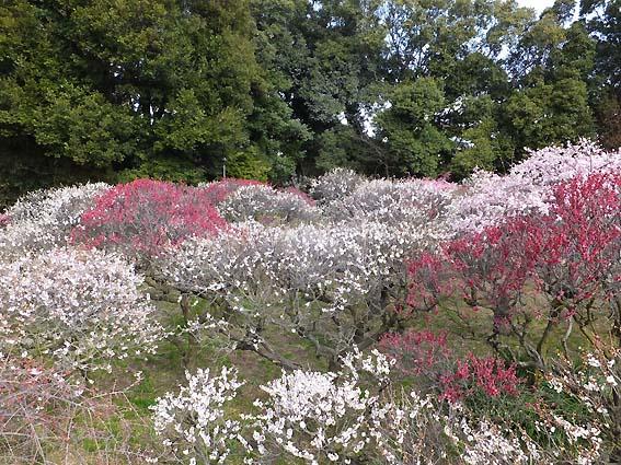 道明寺天満宮梅園の梅