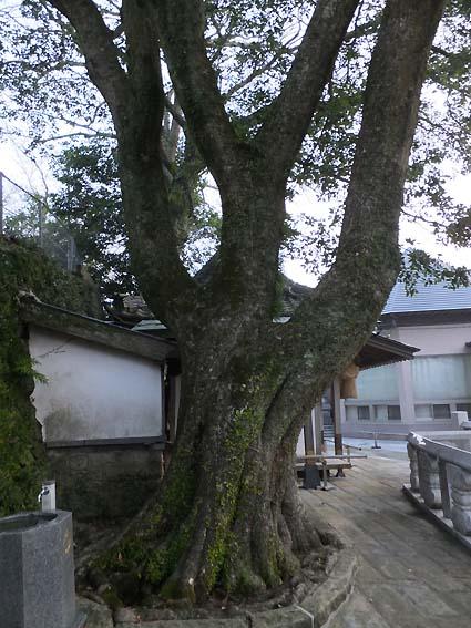 風頭大権現境内の立派な樹