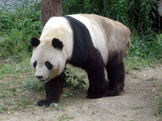 神戸市立王子動物園のパンダ