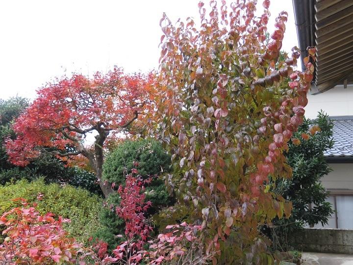山茱萸の紅葉