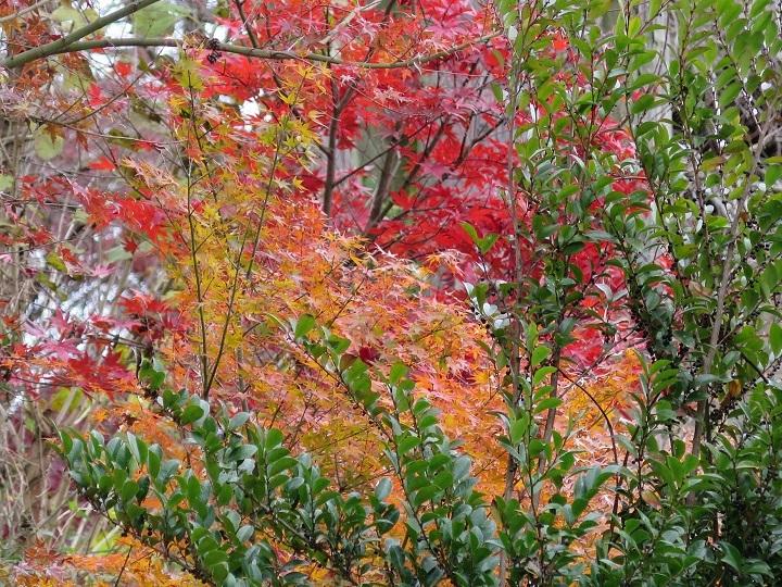 ヒサカキと紅葉