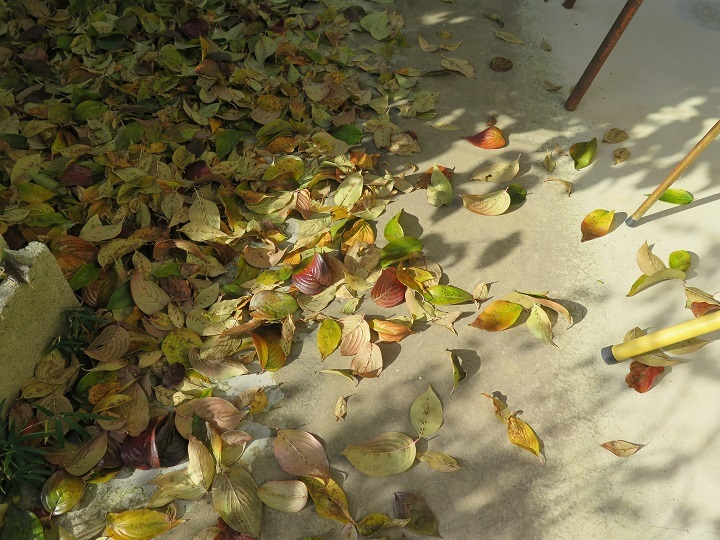 山茱萸の落ち葉