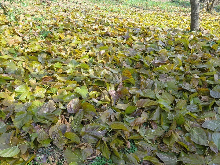 桑の落ち葉