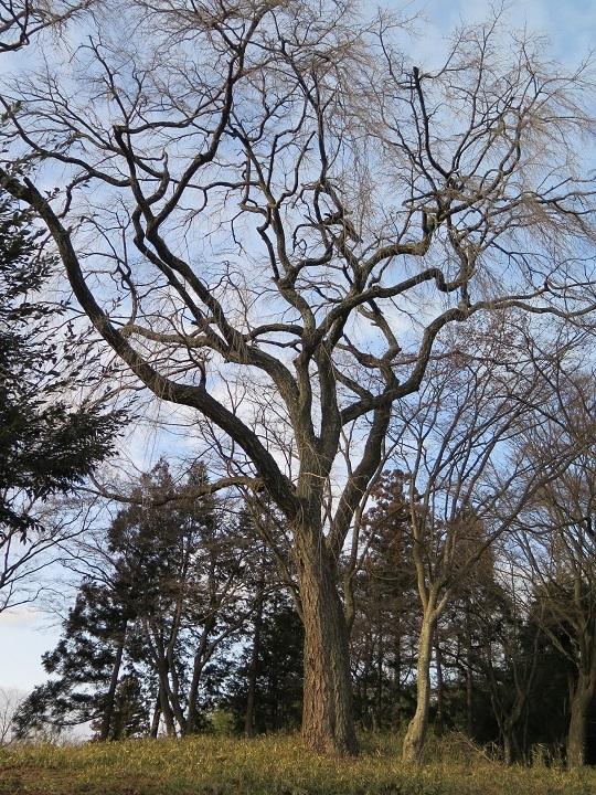 子爵邸跡の桜2