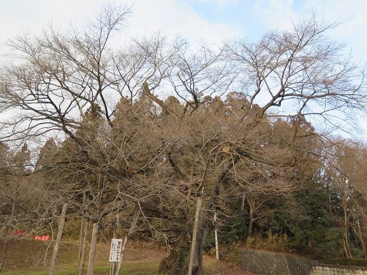 弥明の桜2