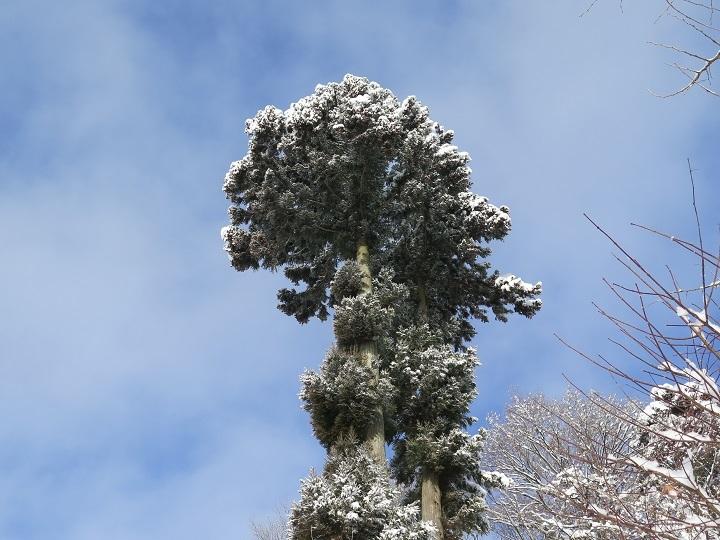 杉の雪景色