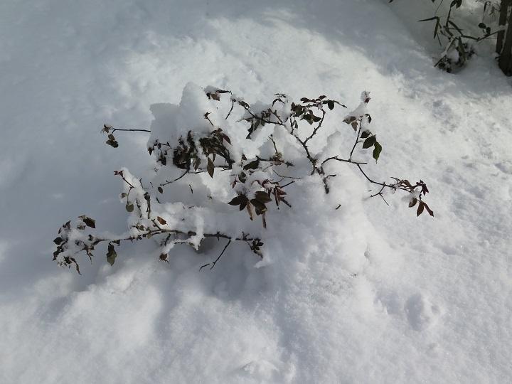 雪に埋もれるノックアウト