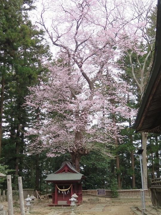 景勝の桜2