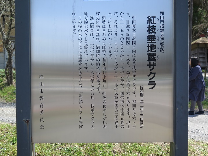 地蔵桜案内板