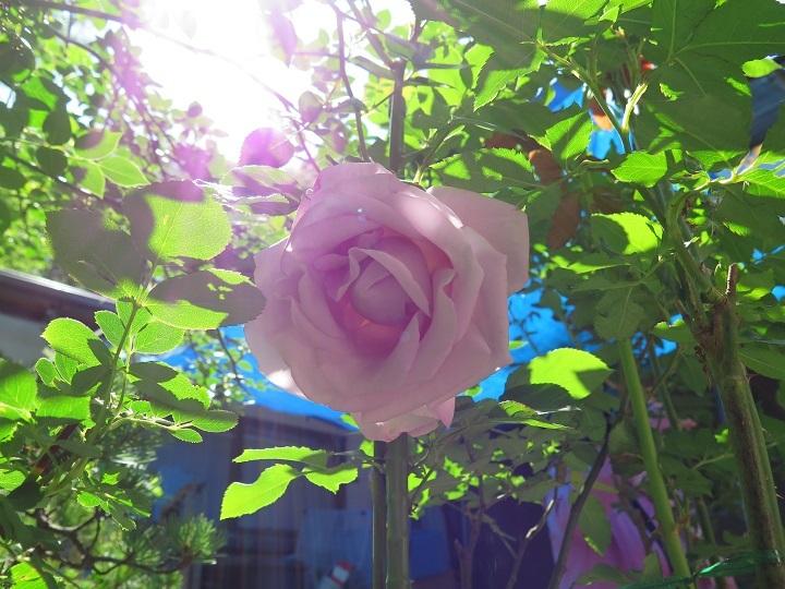 ブルーのバラ