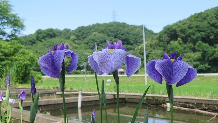 花ショウブ2
