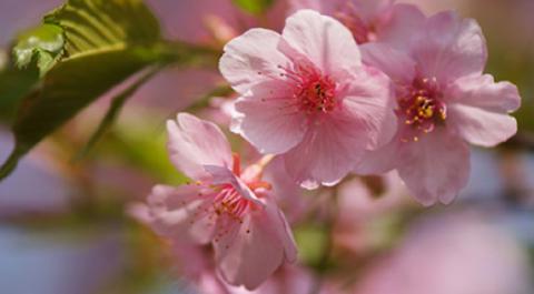 春花001
