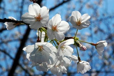 春花002