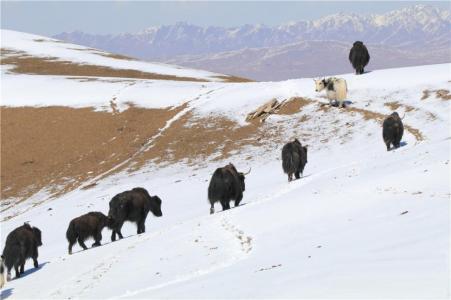 春雪に草原に集まる動物001