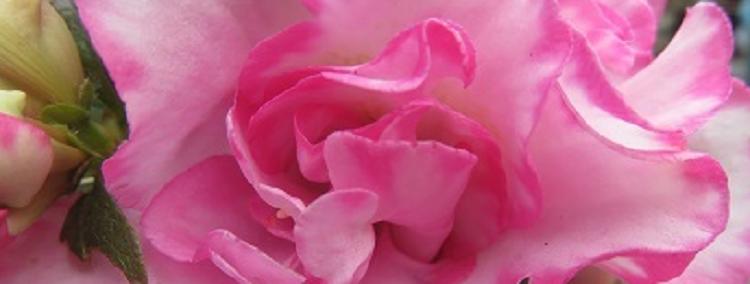 花蘂004