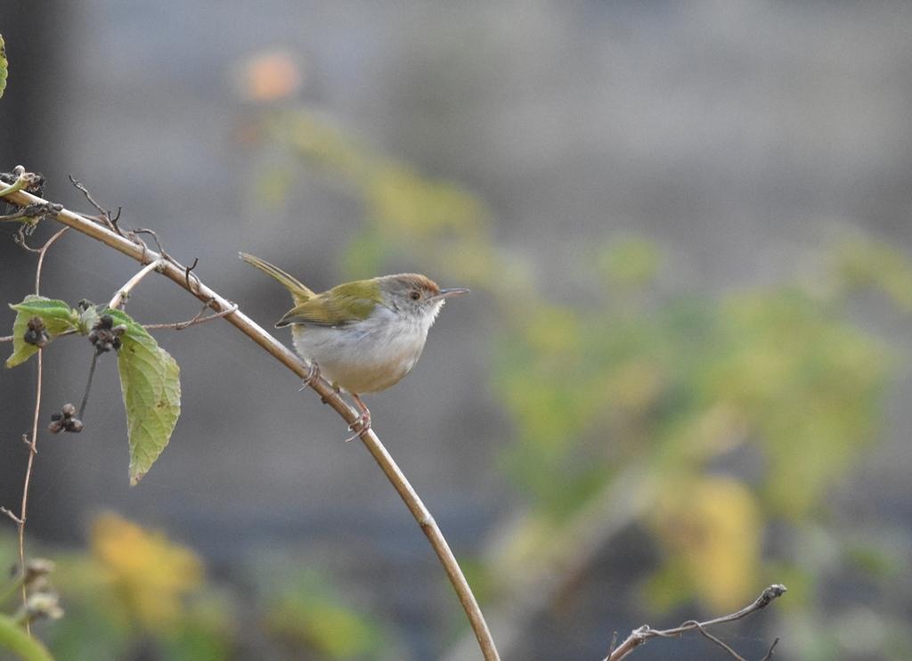 180210tailorbird.jpg