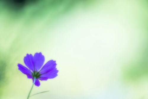 MAR78_kosumosumurasaki_TP_V4.jpg