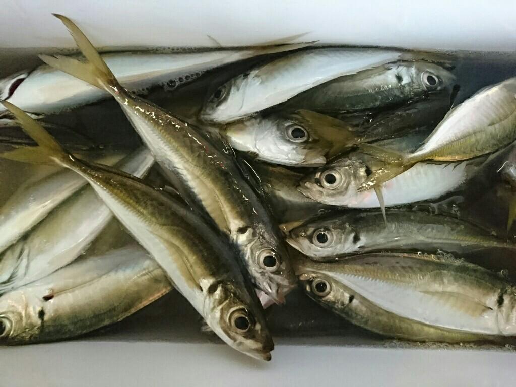 東京湾ライトアジ釣りに挑戦!~金沢八景太田屋にて~