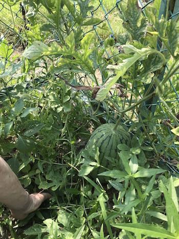 スイカ収穫