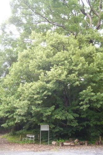 2015年 6月 菩提樹の木