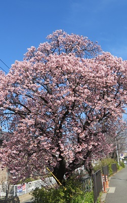 2018 3 2 早咲き桜