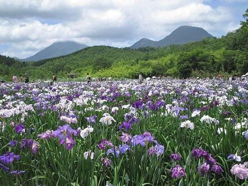 神楽女湖 花しょうぶ 画像