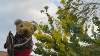 2017 3 7 ミモザの花(ギンヨウアカシア) ベァー